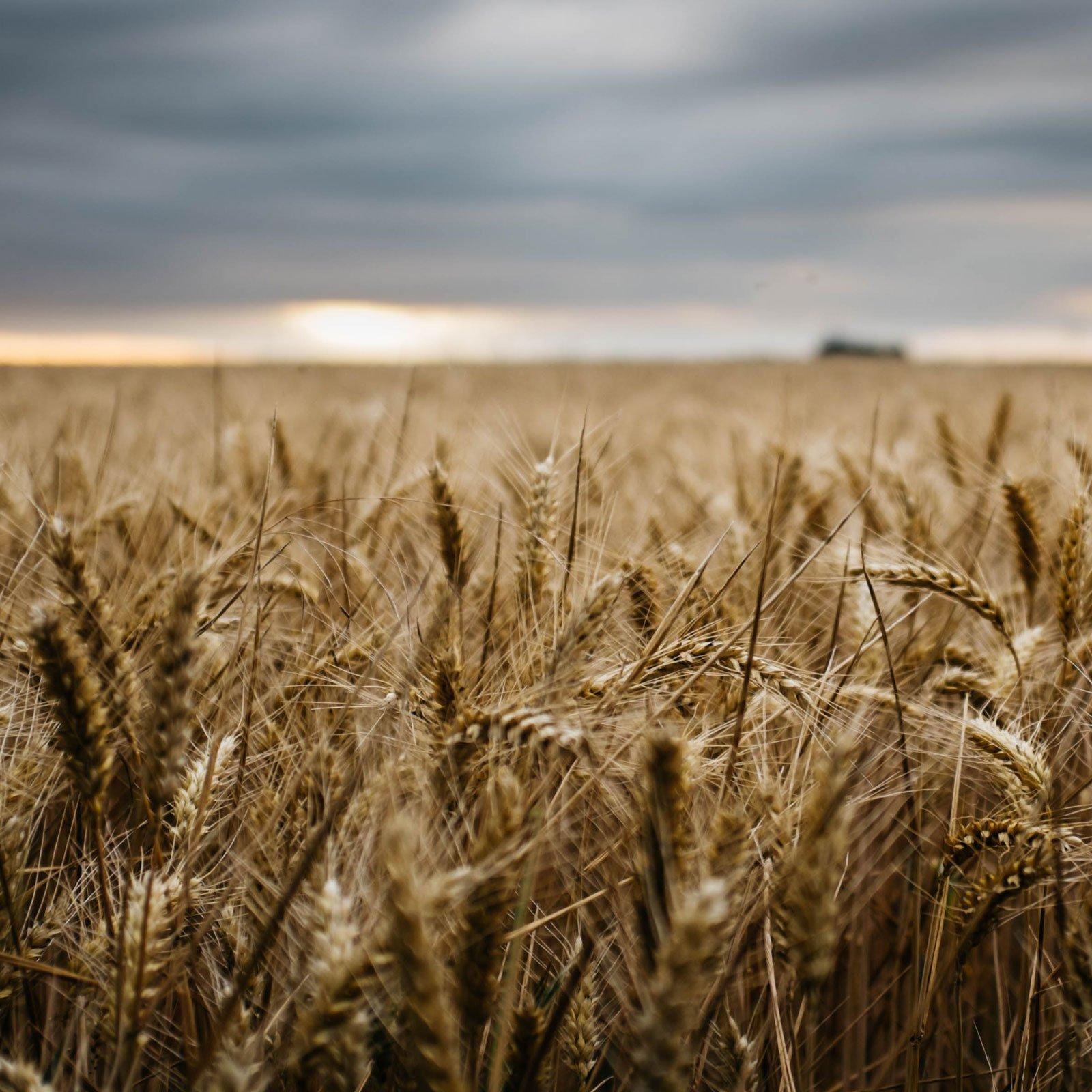 Wheat field near dusk.
